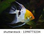 angelfish  pterophyllum scalare ... | Shutterstock . vector #1398773234