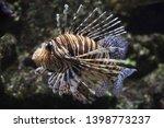 red lionfish  pterois volitans .... | Shutterstock . vector #1398773237