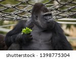 Stock photo western lowland gorilla gorilla gorilla gorilla wild life animal 1398775304