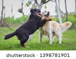 Stock photo golden retriever and baby bernese mountain dog play on the meadow 1398781901