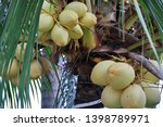 ivory coconut species  which... | Shutterstock . vector #1398789971