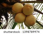 ivory coconut species  which... | Shutterstock . vector #1398789974