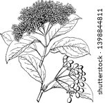 viburnum cassinoides is a... | Shutterstock .eps vector #1398844811