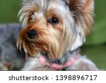 Stock photo puppy of the yorkshire terrier the dog is lying on a green sofa a large puppy portrait vertical 1398896717