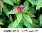 japanese meadowsweet or spiraea ... | Shutterstock . vector #1398968024