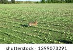 Stock photo wild hare is running on green field at sunset time 1399073291