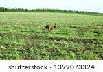 Stock photo wild hare is running on green field at sunset time 1399073324