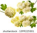 white viburnum flowers in the... | Shutterstock . vector #1399225301