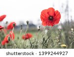 Poppy Flower Blooming In The...