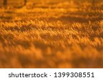 field with tall grass in golden ...   Shutterstock . vector #1399308551