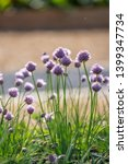 Small photo of Allium schoenoprasum, commonly called chives, is a small bulbous perennial which iscommonly used as a culinary herb to impart mild onion flavor to many foods, including salads, soups, vegetables