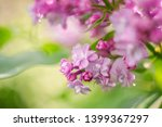 Closeup Lilac Flower. Picture...