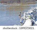 A Mallard Duck Inspects A Wall...