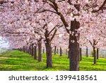 cherry blossom trees chikuma... | Shutterstock . vector #1399418561
