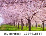 cherry blossom trees chikuma... | Shutterstock . vector #1399418564