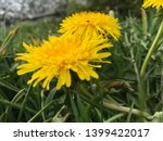 dandelion.art beautiful spring... | Shutterstock . vector #1399422017