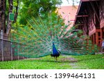 Small photo of The male peafowl (Blue peafowl or Pavo cristatus) with his colorful on his back side covert feathers. Photography of lively nature and wildlife