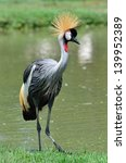 A Beautiful Bird Crowned Crane