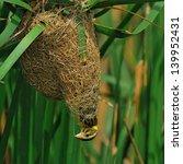 A Female Streaked Weaver Make...