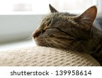Stock photo sleeping cat on a sofa sleeping cat face close up small lazy kitten on day time domestic pet 139958614