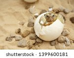 Stock photo africa spurred tortoise are born naturally tortoise hatching from egg cute portrait of baby 1399600181
