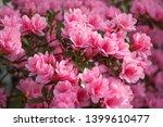 Azalea flowering plant blooming ...