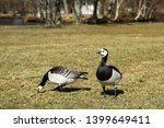 Two Canada Gooses Standing On...