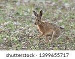 Stock photo hare on chalk farm land wiltshire uk 1399655717