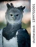 Harpy Eagles Are Among The...