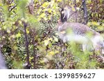 Stock photo hare hid in the bushes and slowly ran away arctic hare lepus timidus 1399859627