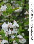 white hanging flowers of... | Shutterstock . vector #1400120174