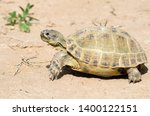 Stock photo the russian tortoise agrionemys horsfieldii also commonly known as the afghan tortoise the 1400122151