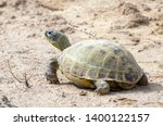 Stock photo the russian tortoise agrionemys horsfieldii also commonly known as the afghan tortoise the 1400122157