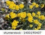 Helichrysum Italicum  Also...