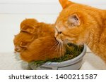 Stock photo red newborn kittens sitting in a bowl on a white table little blind pets close up cat mom picks 1400211587
