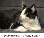 Cross  Eyed Funny Cat Portrait
