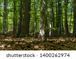 deciduous forest with beeches ... | Shutterstock . vector #1400262974
