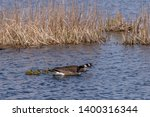 Two Canada Geese  Branta...