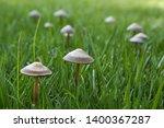 Wild Mushroom Growing In Grass...