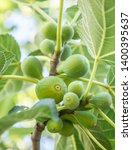 ripe fig fruits on the tree. | Shutterstock . vector #1400395637