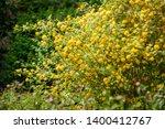 yellow kerria japonica... | Shutterstock . vector #1400412767