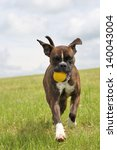Stock photo boxer dog with a yellow ball 140043004
