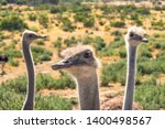 Ostriches Portrait Close Up In...