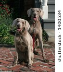 two weimaraner dogs - stock photo
