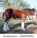 Brown And White Clydesdale...