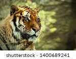 Small photo of Tiger. Tiger head Tiger look. Big cat. Wild animal. Africa. Safari. Wild nature. Lying tiger.