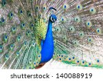 Beautiful male peacock displaying the colourful feathers of its fanned out tail in a mating ritual. Photo taken with shallow depth of field. - stock photo