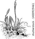 this is ophioglossum vulgatum...   Shutterstock .eps vector #1400925461