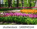 Spring Blooming Tulip Flowrs...