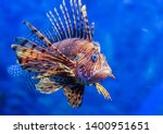 Red Lionfish   One Of The...